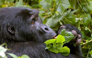 Classic Africa Safaris_gorilla