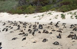Penguins nesting Boulders Beach South Africa