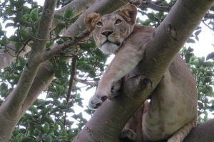Tree climbing lion Uganda Classic Africa Safaris