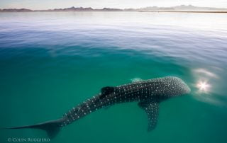 Whale Shark Todos Santos Eco Adventures by Colin Ruggiero