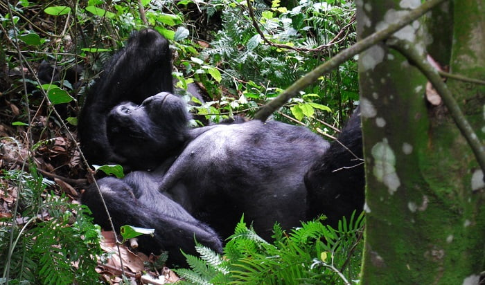 Gorilla in Bwindi Uganda with Classic Africa Safaris