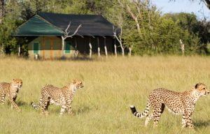 Cheetahs stroll through Bomani Tented Camp Hwange NP Zimbabwe