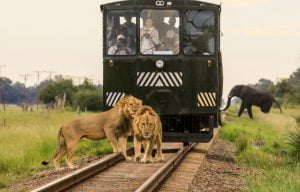 Lions stopping the Elephant Express in its tracks while an elephant slips by unnoticed!