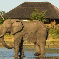 Elephant drinking at Nehimba Lodge Hwange