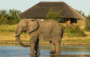 Elephant drinking at Nehimba Lodge Hwange