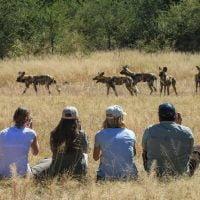 walking safaris wild dog Hwange