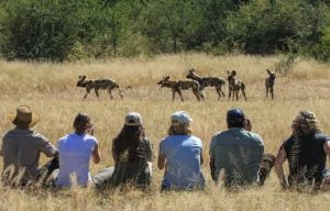 walking safaris wild dog Hwange