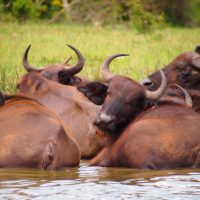 Classic Africa Safaris Cape buffalo Kazinga Channel Uganda Gretchen Healey