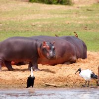 Classic Africa Safaris baby hippo Kazinga Channel Uganda Gretchen Healey