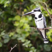 Classic Africa Safaris pied kingfisher Kazinga Channel Gretchen Healey
