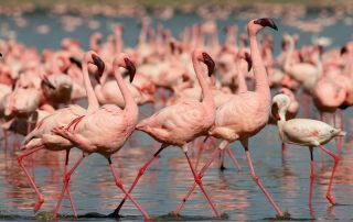 Flamingos in Lake Nakuru with Albatros East Africa