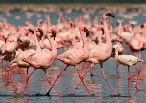 Flamingos in Lake Nakuru with Albatros East Africa