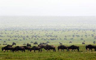 Wildebeest migration with Albatros East Africa