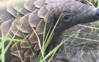 Imvelo Safari Lodges pangolin sighting