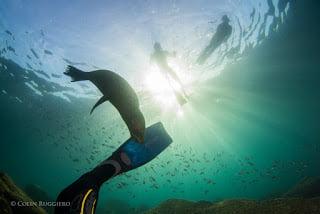 Curious Baja sea lion Credit Colin Ruggiero