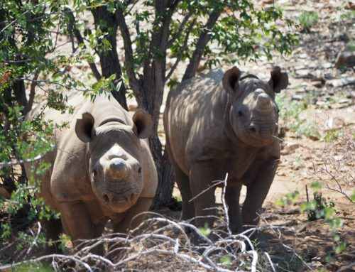 Trip experience – black rhino trekking with Ultimate Safaris