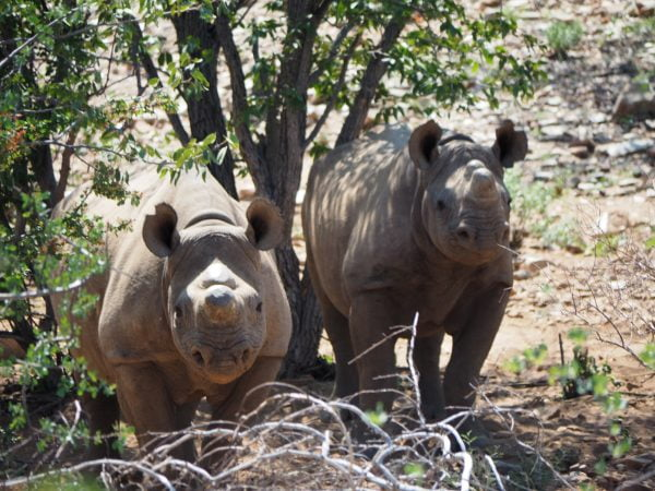 Black rhino trekking with Ultimate Safaris 2018 FAM by G Healey