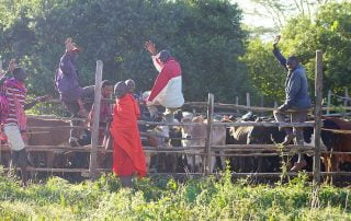 Tending the Mara cattle at House in the Wild Albatros East Africa