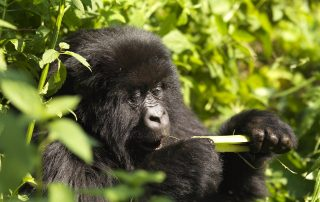 Now there are more gorilla families available for trekking in Uganda with Classic Africa Safaris