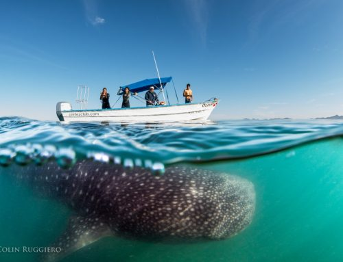 Watching Out for the Whale Sharks in the Bay of La Paz