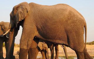 A juvenile elephant shelters under mom at Jozibanini's waterhole