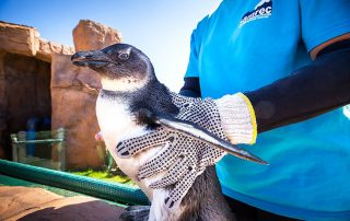 Penguin rescue in Port Elizabeth