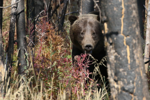 gather-away-yellowstone-bear
