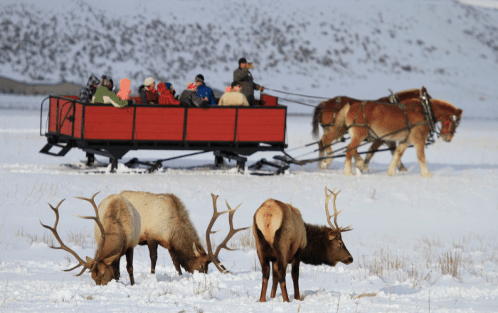 Winter-jackson-elk-refuge-gather-away-featured-image