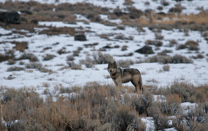 Winter-yellowstone-wolves-gather-away-featured-image