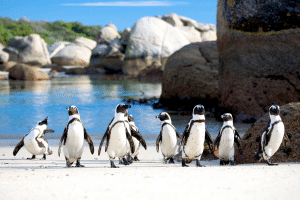 South-Africa-penguins-New-Frontiers-600x400