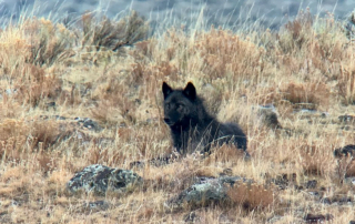 Wolf-yellowstone-gather-away