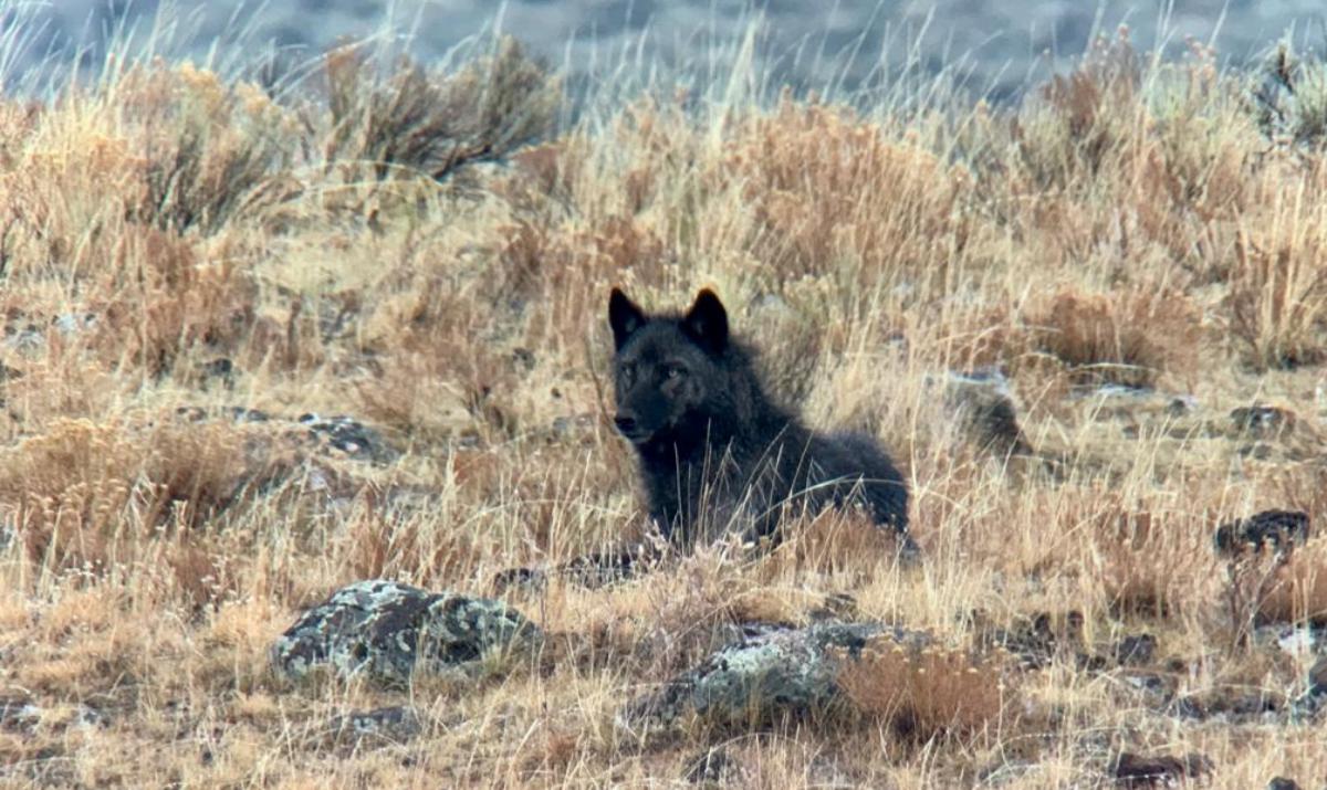 Wolf-yellowstone-gather-away